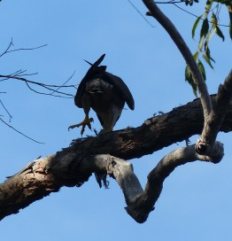 "Peregrine falcon ""macropus"" showing off its huge feet"